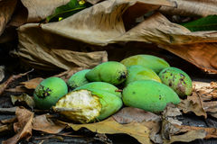 Green mangoes on dry leafs Royalty Free Stock Images
