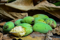 Green mangoes on dry leafs Stock Photography