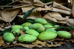 Green mangoes on dry leafs Stock Photos