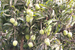 Green Mangoes hanging on a tree Royalty Free Stock Image