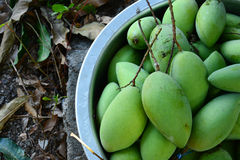 Green mangoes in stell basin Royalty Free Stock Images