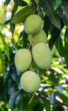 Green mangoes. On the tree Royalty Free Stock Photo
