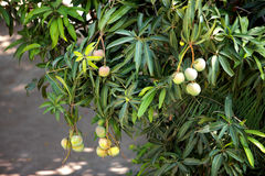 Green mangoes in the tree. A bunch of green mangoes in the tree Royalty Free Stock Image
