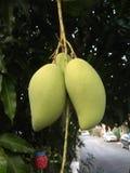 Green mangoes stock image