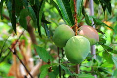 Green mangoes on the tree Stock Photo