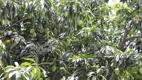 Green mangoes on a tree stock video footage