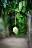 Green mangoes. On trees with one single fruit hanging from a branch Stock Photos