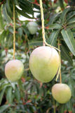 Green mangoes on the trees in orchards. Stock Photography
