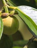 Green mangosteen (Garcinia mangostana) Stock Photography