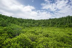 Green Mangrove forest with blue sky Stock Image
