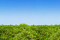 Green mangrove hedge. Abstract with blue gradient sky royalty free stock photos