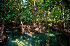 Green mangrove trees with interlaced roots under sunlight. Green mangrove trees with interlaced whimsically roots under seldom sunlight Royalty Free Stock Photos