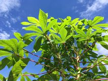 Green Manihot esculenta leaves in nature garden Stock Images