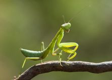 Green mantis. Green mantis close macro, focus on body Royalty Free Stock Photos