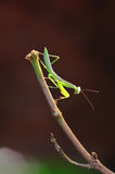 Green mantis. Stay on branches stock photos