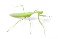 Green mantis Royalty Free Stock Photo