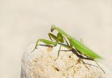 Green mantis. Stock Photography