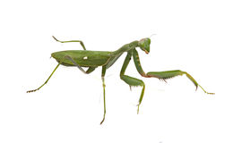 Green mantis Stock Image