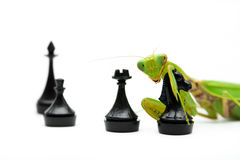 Green mantis with black knight chess piece on white background, Stock Image