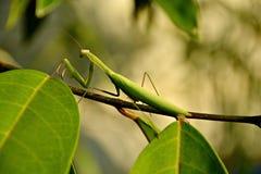 Green Mantis royalty free stock photos