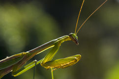 Green Mantis Royalty Free Stock Images
