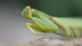 Green mantis close-up. Insect paws over and washes his mustache. stock video footage
