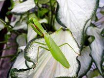 Green Mantis Royalty Free Stock Photos