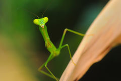 Green Mantis at the death leaf Royalty Free Stock Images