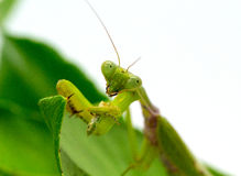 Green mantis eating grasshopper on white background. Mantis on green leaf. Green mantis hunt. Soothsayer or mantis eat bug. Carnivorous insect. Mantodea Royalty Free Stock Image