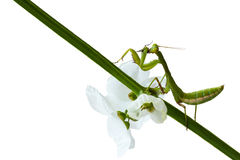 Green mantis eating victim. Green mantis sitting on branch and white flower eating victim Stock Photography