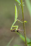 Green mantis eats  grasshopper Stock Image