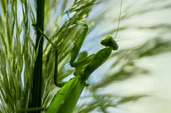A green mantis on a grass stalk. Tropical green insect Royalty Free Stock Image