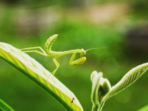 The green mantis. The mantis on guava and blurred green background Stock Images