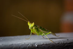 Green mantis insect close up Stock Photography