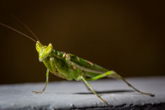 Green mantis insect close up Royalty Free Stock Image