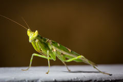 Green mantis insect close up Stock Images