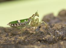 Green mantis Insect Stock Photography