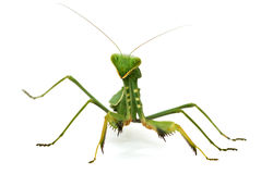 green mantis isolated on white Stock Images