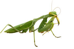 Green mantis isolated on white background Royalty Free Stock Photography