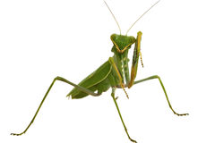 Green mantis isolated on white background Stock Photos