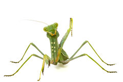 Green mantis isolated on white background Royalty Free Stock Photo