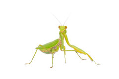 Green mantis Stock Photography