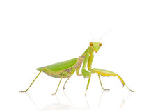 Green mantis Stock Images