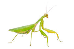 Green mantis Royalty Free Stock Photo