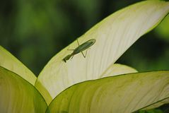 Green Mantis in leaf Royalty Free Stock Photos
