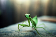 Green mantis Stock Image