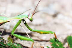 Green mantis mantide Stock Photo