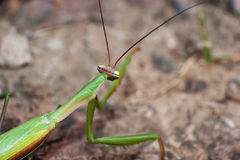 Green mantis mantide Stock Image