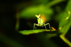 Green mantis mantide Royalty Free Stock Photos