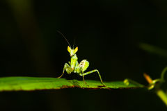 Green mantis mantide Royalty Free Stock Image